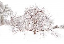 Raissa Venables: Icy Orchard