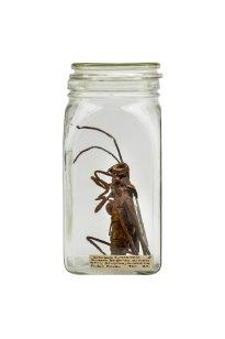 Dana Meyer: Salzbraune Eichenschrecke