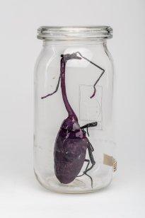 Dana Meyer: violetter Drachenhals